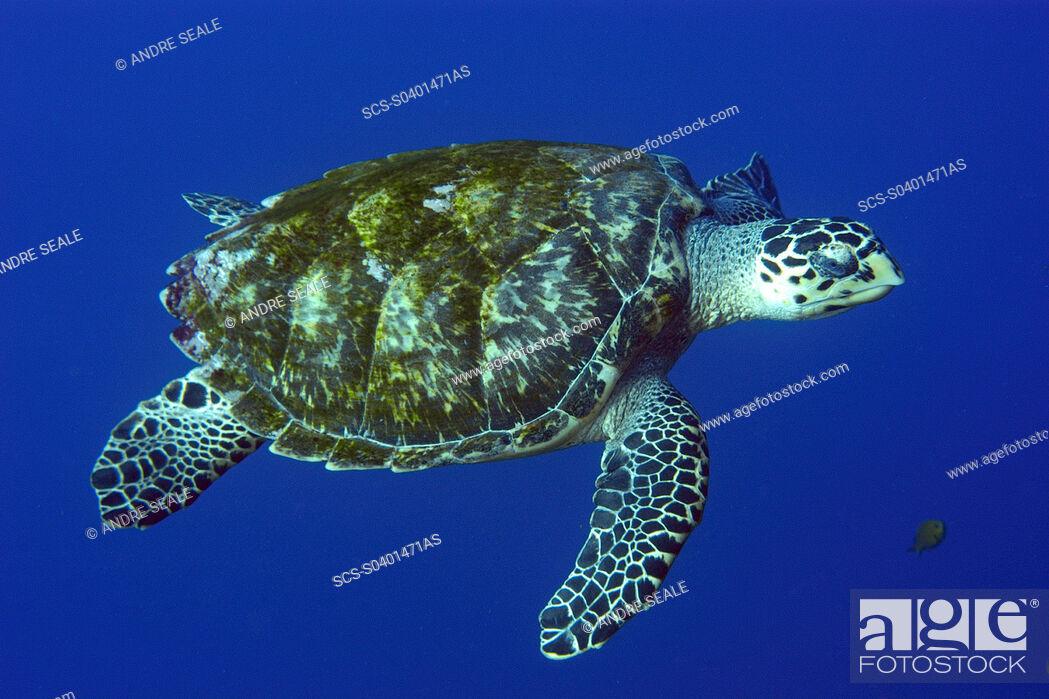 Stock Photo: Green sea turtle, Chelonia mydas, in open water, St Peter and St Paul rocks, Brazil, Atlantic rr.