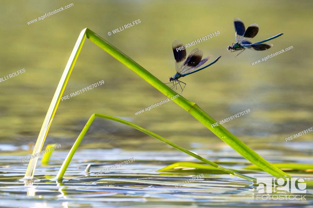 Stock Photo: Banded demoiselle, Calopteryx splendens / Gebänderte Prachtlibelle, Calopteryx splendens.
