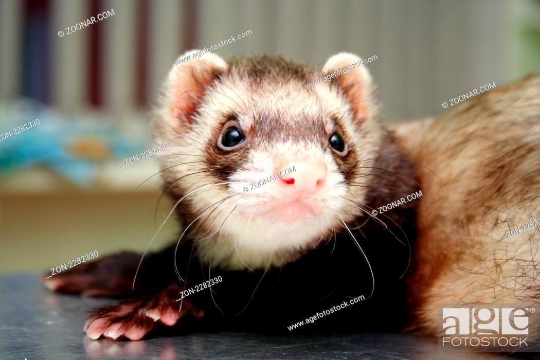 Stock Photo: Close-up of ferret on the iron table.