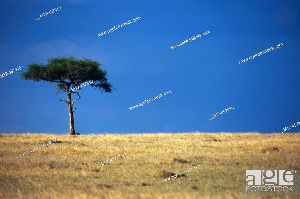 Stock Photo: Lone Acacia stands on the Masai horizon, Masai Mara, Kenya.