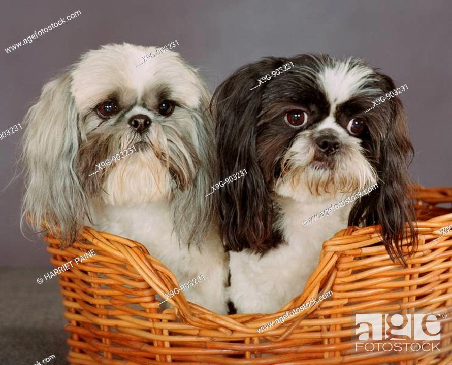 Stock Photo: Two Shih Tzu in basket.