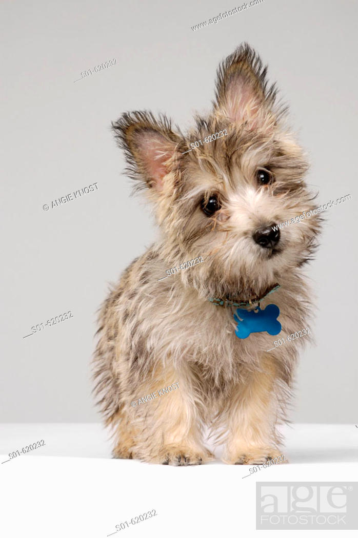 Stock Photo: This stock photo shows a female Cairn Terrier dog, full body. It's slightly turned head and direct eye contact make a cute expression.