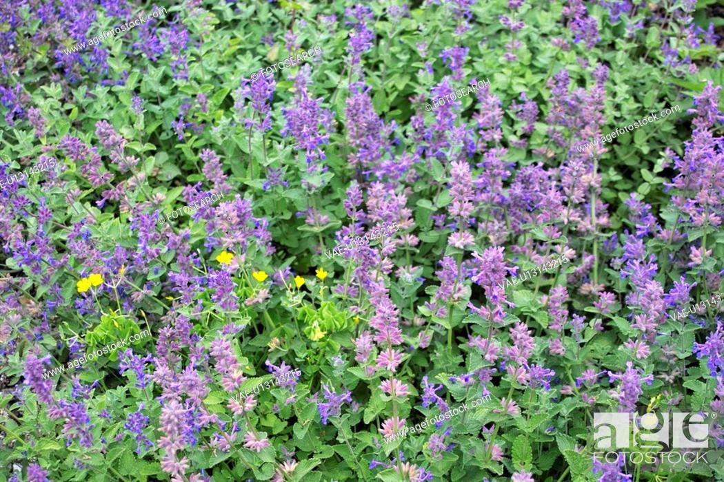 Stock Photo: Salvia viridis.