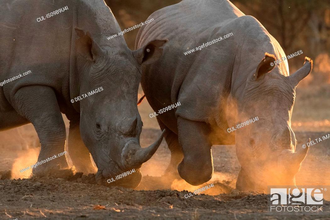 Stock Photo: Two white rhinoceroses (Ceratotherium simum) pawing dust, Kalahari, Botswana.