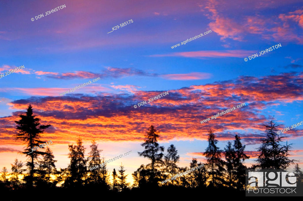 Stock Photo: Dawn skies and spruce tree silhouettes. Ontario.