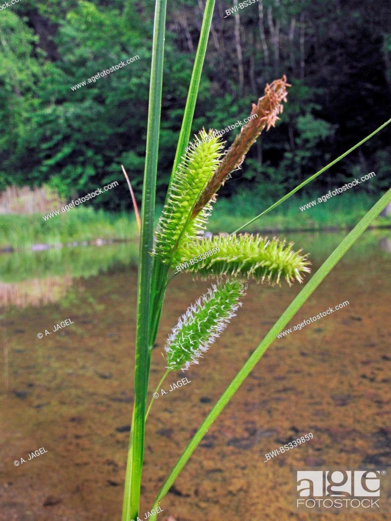 Stock Photo: cyperus sedge (Carex pseudocyperus), fruiting, Germany, North Rhine-Westphalia.