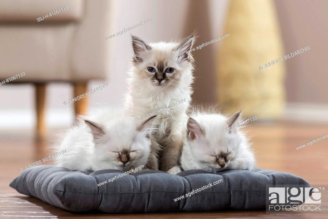 Stock Photo: Sacred cat of Burma. Three kittens on a cushion, two of them sleeping. Germany.