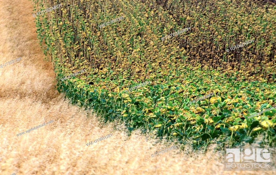 Stock Photo: weinviertel, agriculture, austria, calf, cornfield, grain, Lower Austria.