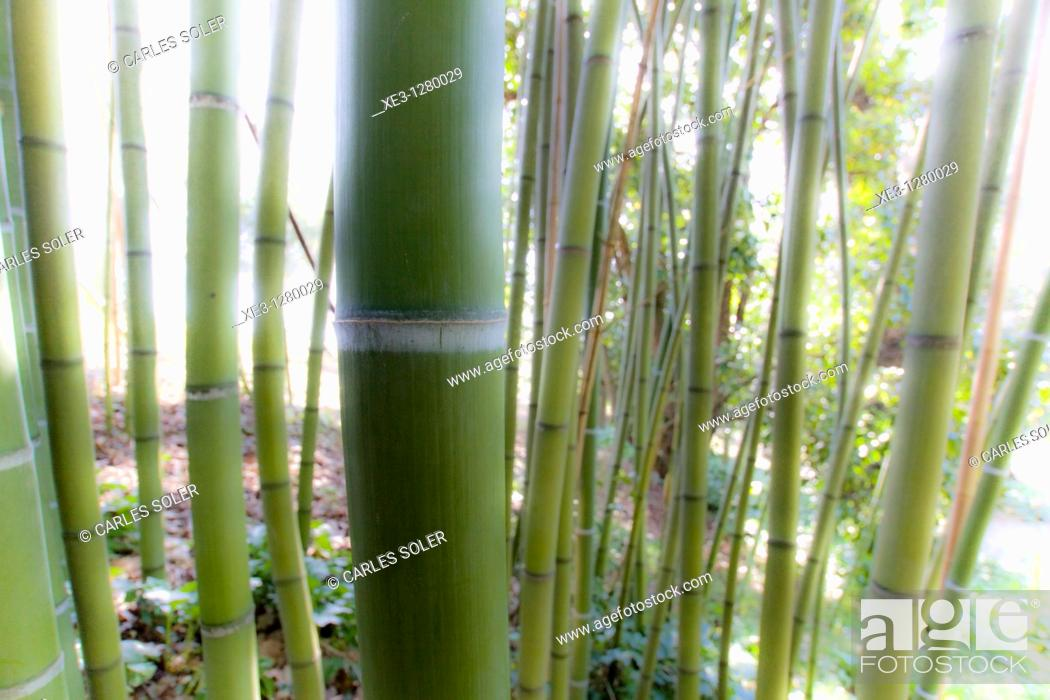 Stock Photo: Bamboo.