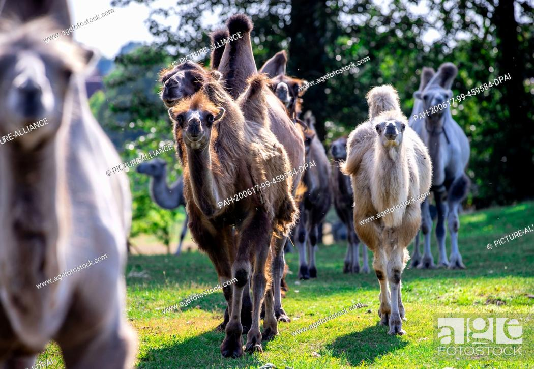 Stock Photo: 17 June 2020, Mecklenburg-Western Pomerania, Gadebusch: The camels of Circus Royal stand on a paddock near the winter quarters.