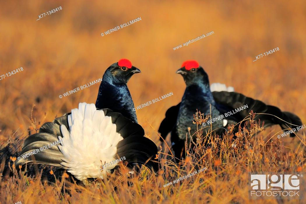 Stock Photo: Black Grouse (Tetrao tetrix), two males, Sweden.
