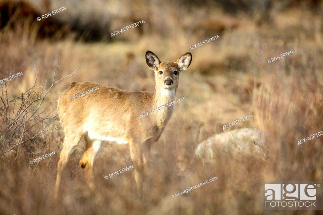 Photo de stock: White-tailed Deer (Odocoileus virginianus), Barrie Island, Manitoulin Island, Ontario, Canada.