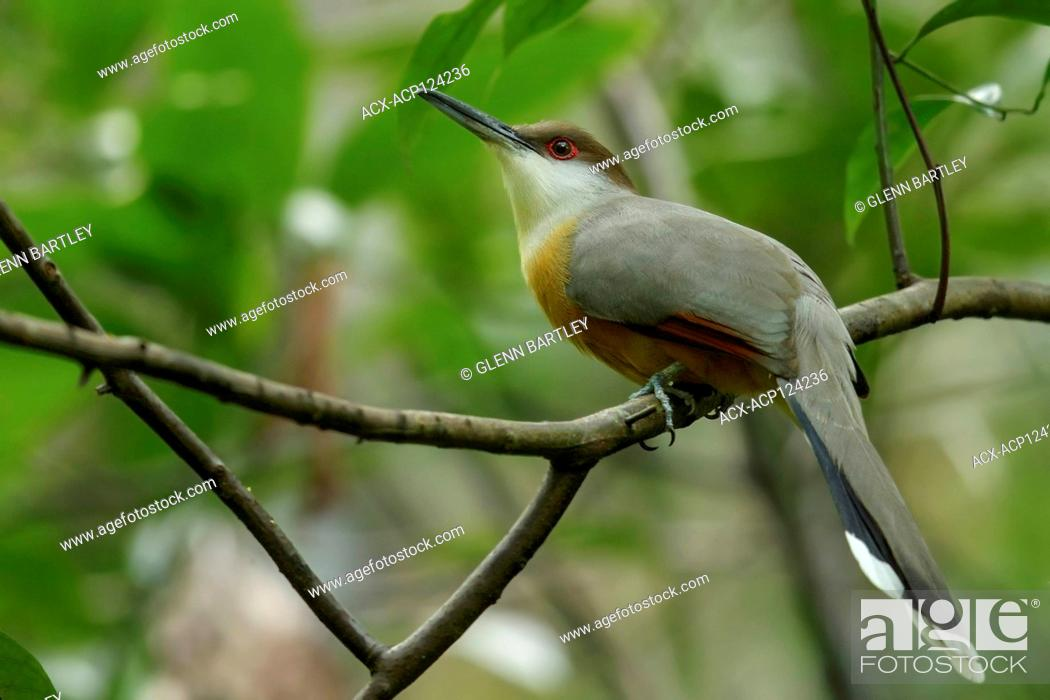 Imagen: Jamaican Lizard-Cuckoo (Coccyzus vetula) perched on a branch in Jamaica in the Caribbean.