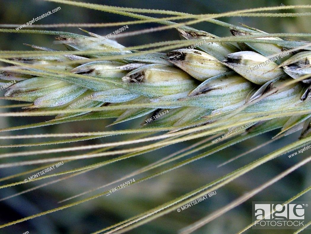 Stock Photo: Wheat ear closeup.