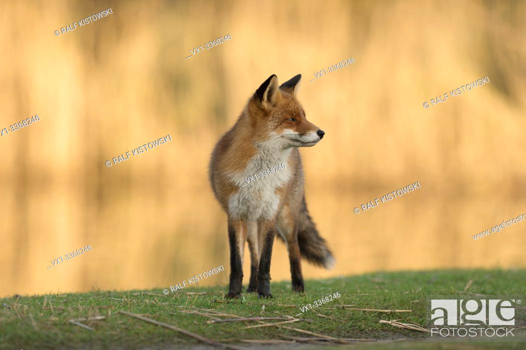 Stock Photo: Red Fox / Rotfuchs (Vulpes vulpes) looks around, stands on a riparian stripe along a stretch of water with bright shining reed in background. .