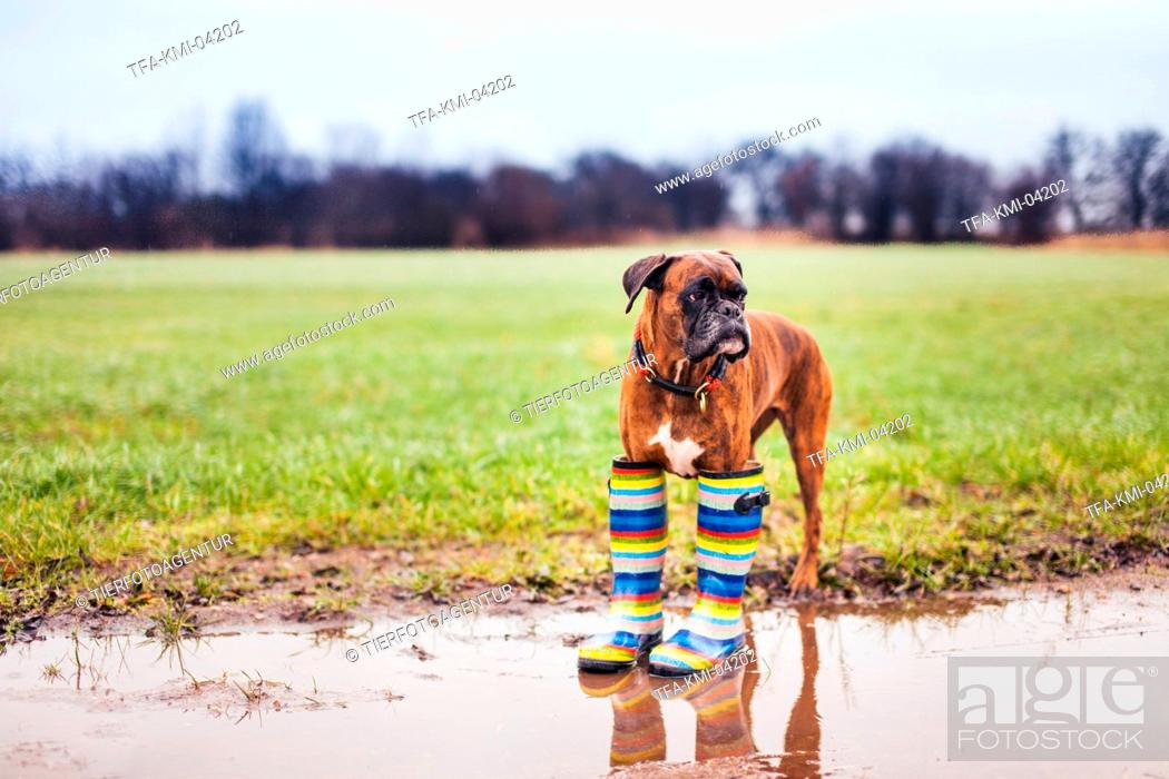 Stock Photo: German Boxer with gumboots.