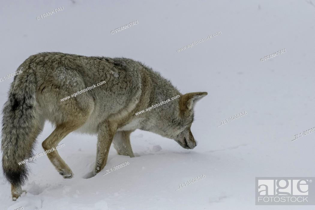 Stock Photo: Coyote hunting in Yellowstone National Park.