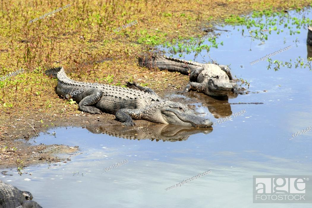 Stock Photo: North America, USA, Florida, Myakka River State Park, alligators basking in the sun on the shoreline of a river.