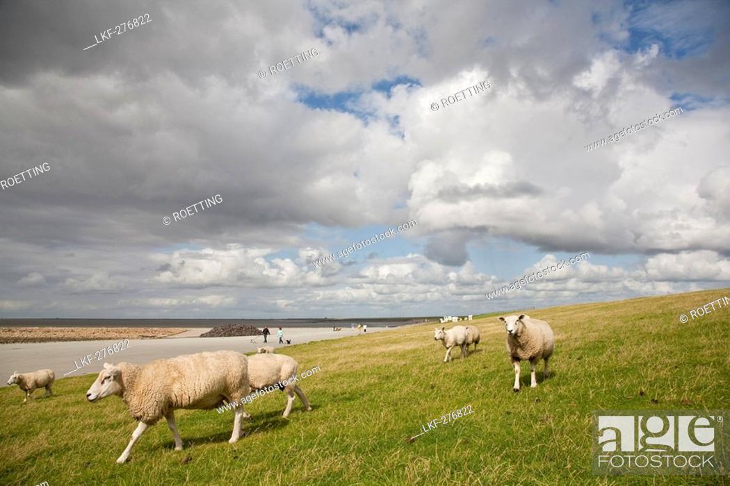 Stock Photo: Sheep on dike, Beltringharder Koog, Luettmoorsiel, Nordstrand, Schleswig-Holstein, Germany.