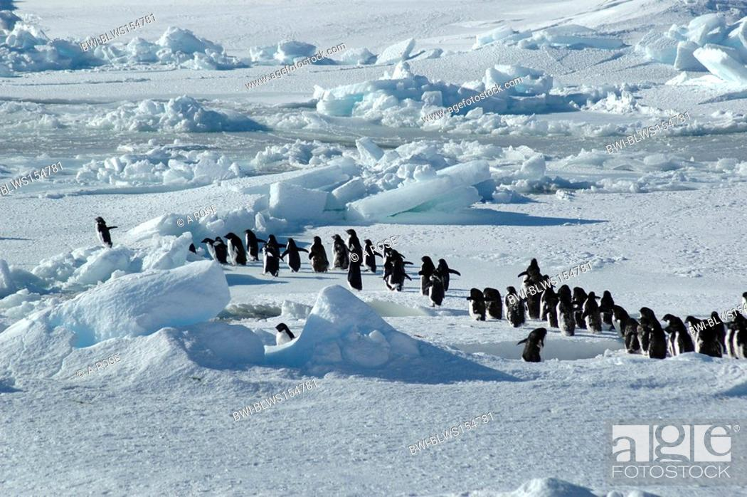 Stock Photo: adelie penguin Pygoscelis adeliae, group of about forty Antarctic Adelie penguins is led by one enthusiastic penguin on the left, Antarctica.