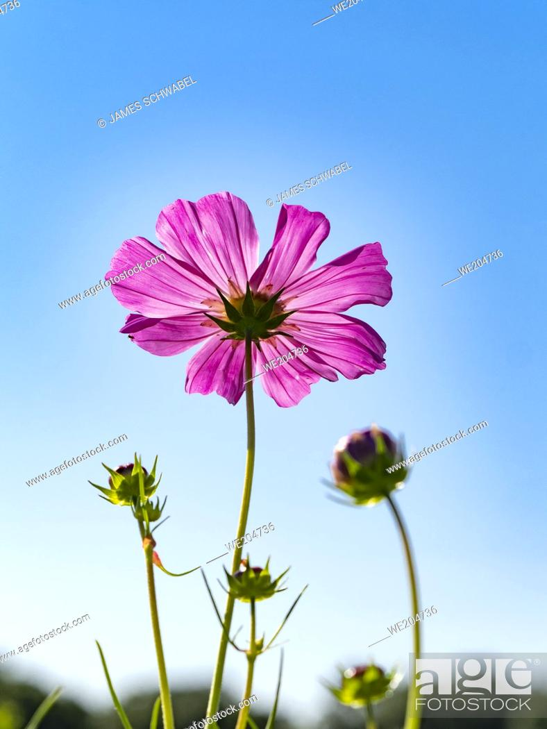 Imagen: A single Zinnia wildflower with new buds seen from below against a blue sky.
