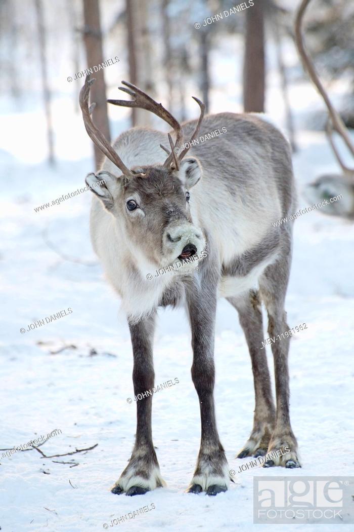 Stock Photo: Mammal. Reindeer.