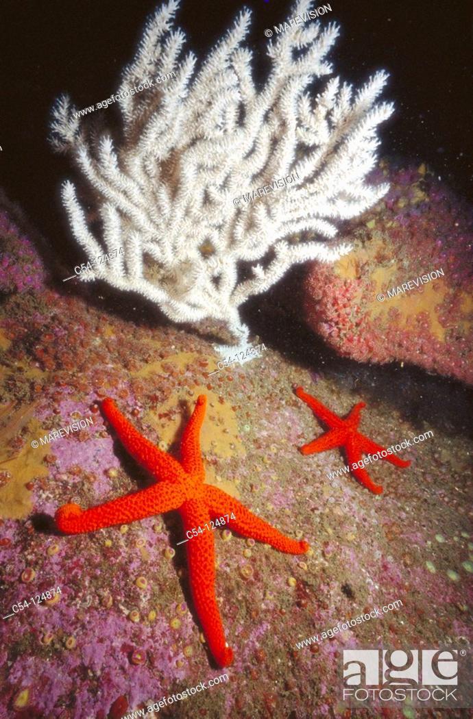 Stock Photo: Starfish (Echinaster sepositus). Ria of Vigo, Pontevedra province, Galicia, Spain.