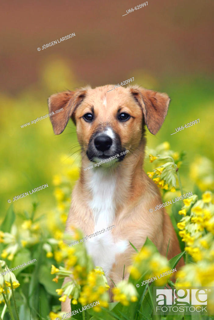 Stock Photo: Puppy and cowslips (primula veris).