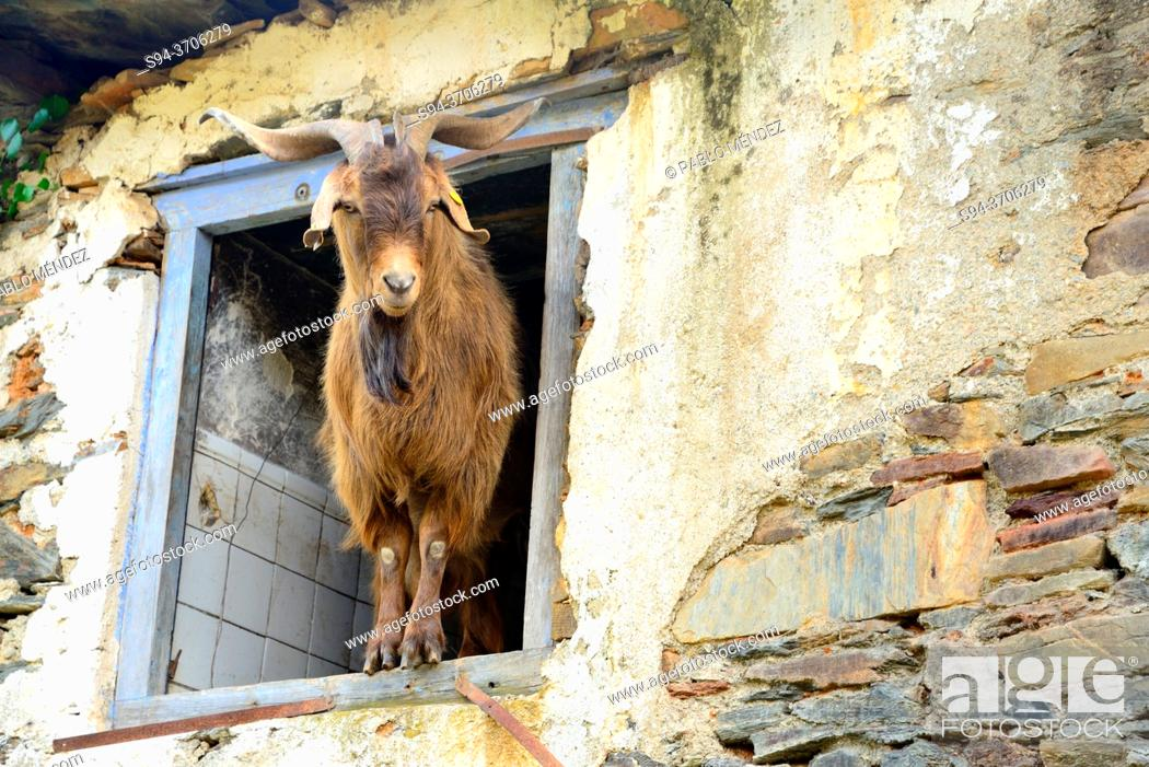 Stock Photo: Goat in a window of a abandoned rustic house in Santoalla, Petin council, Orense, Spain.