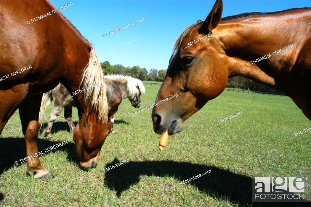 Stock Photo: Horse eating a carrot.