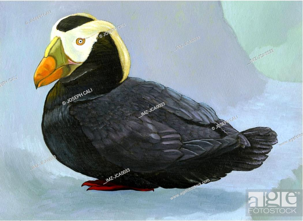 Stock Photo: An illustration of a tufted puffin.