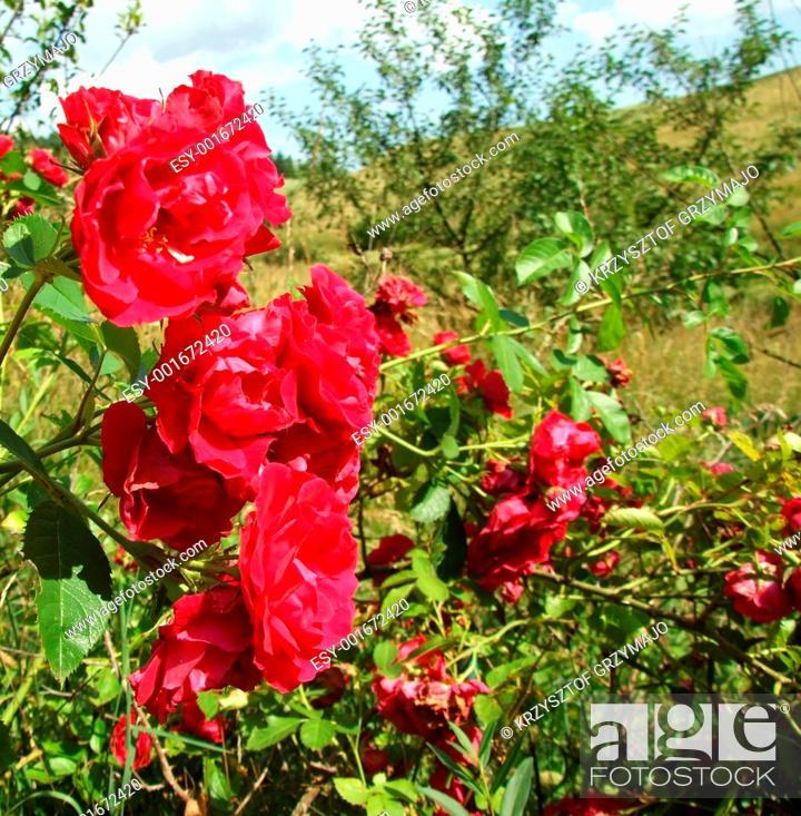 Stock Photo: wild roses.