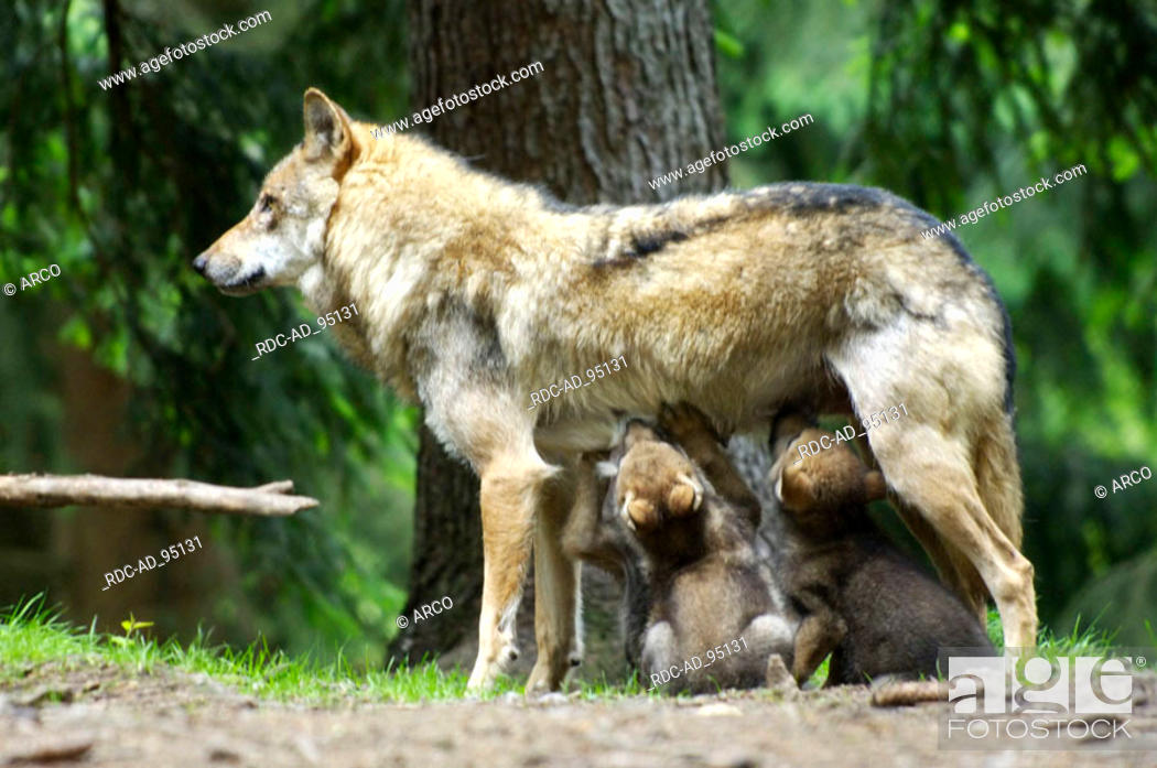 Stock Photo: Wolves female with cubs Canis lupus.
