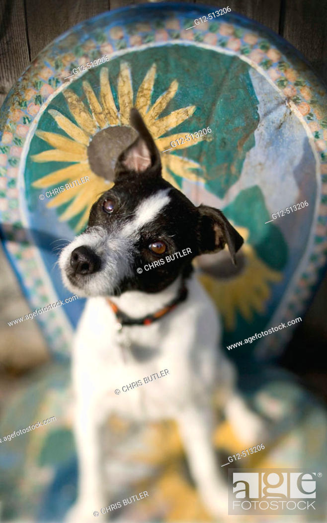 Stock Photo: Jack Russell Terrier sitting on decorative chair tilting it's head with one ear up.