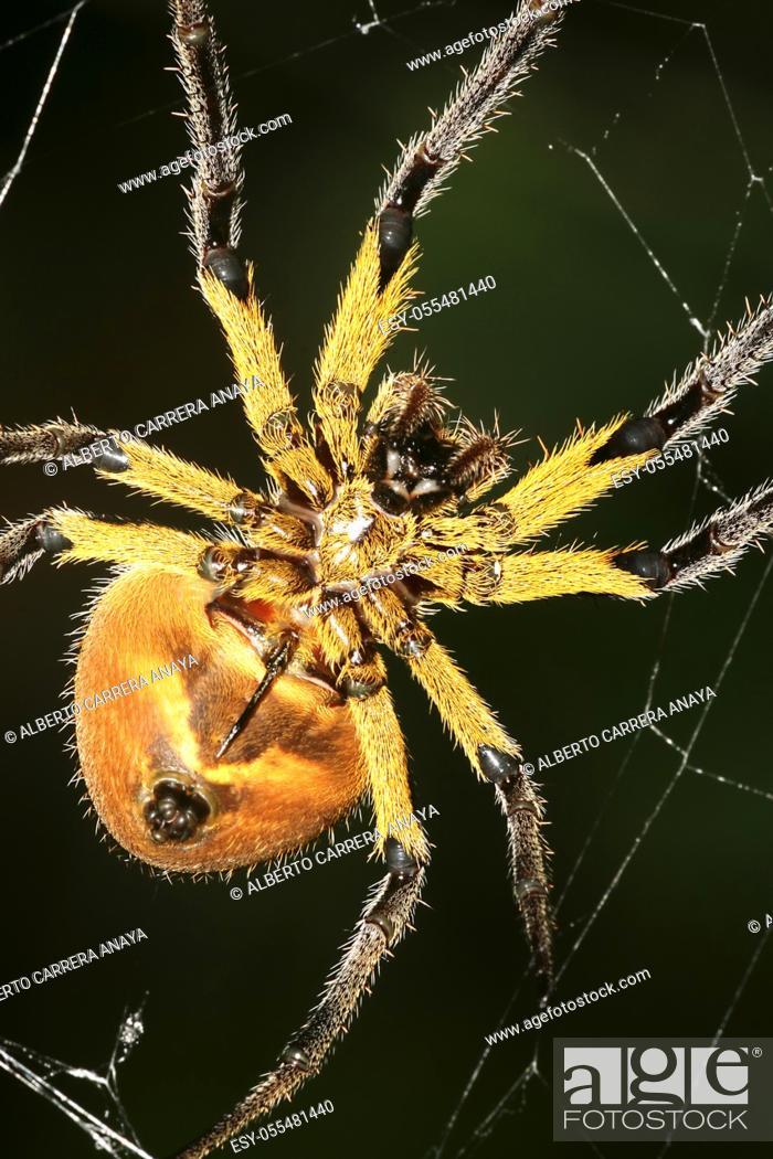 Imagen: Spider, Rainforest, Napo River Basin, Amazonia, Ecuador, America.