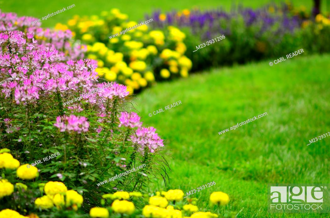 Stock Photo: Cleome flowers in soft focus watch over the lawn and garden, Pennsylvania, USA.