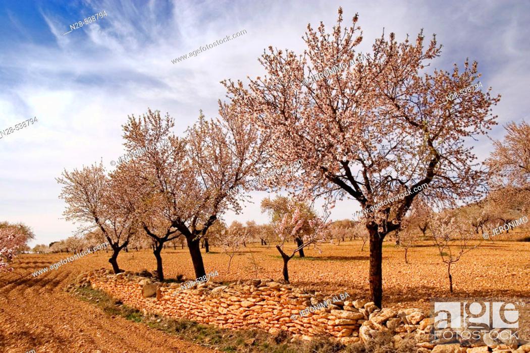 Stock Photo: Almond trees. Almeria  province, Andalusia. Spain.