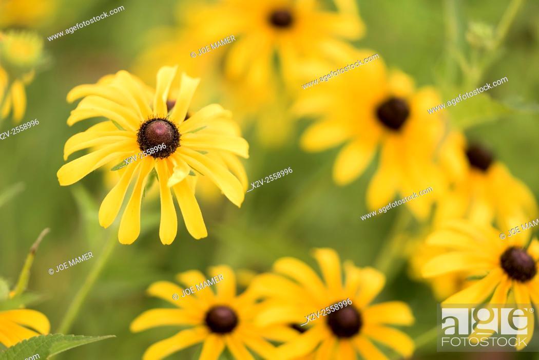Stock Photo: Rudbeckia hirta (Black-eyed Susan) flowers.