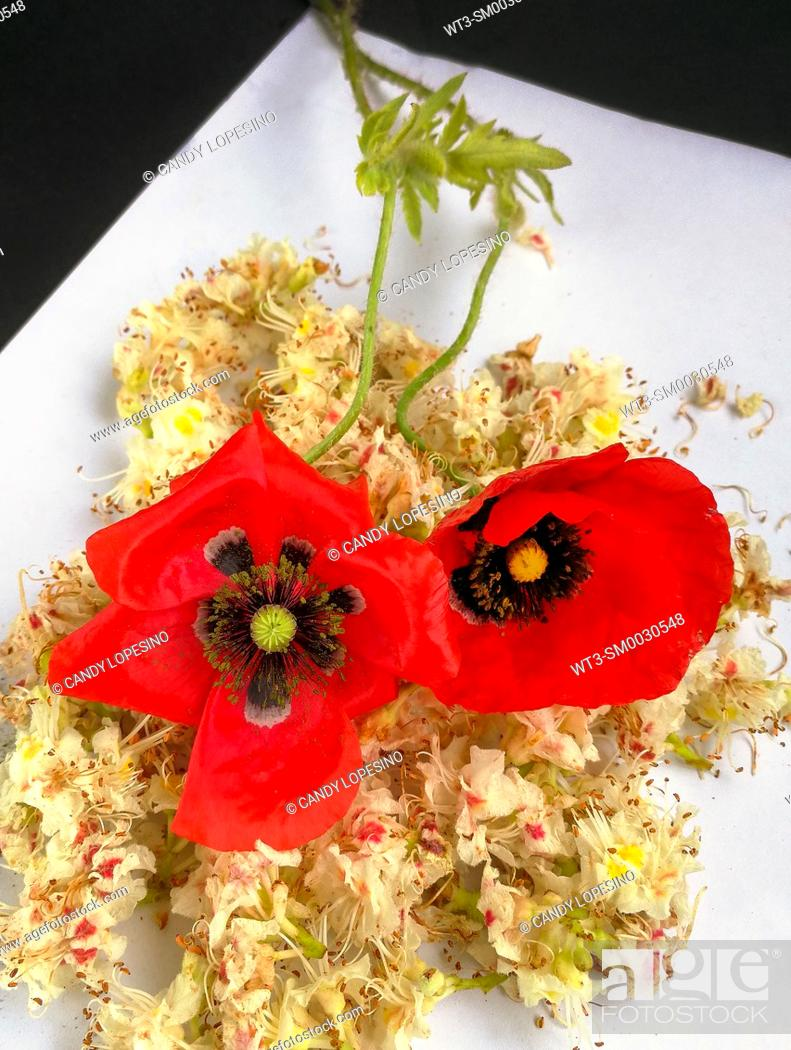 Stock Photo: Two red poppies on white background.
