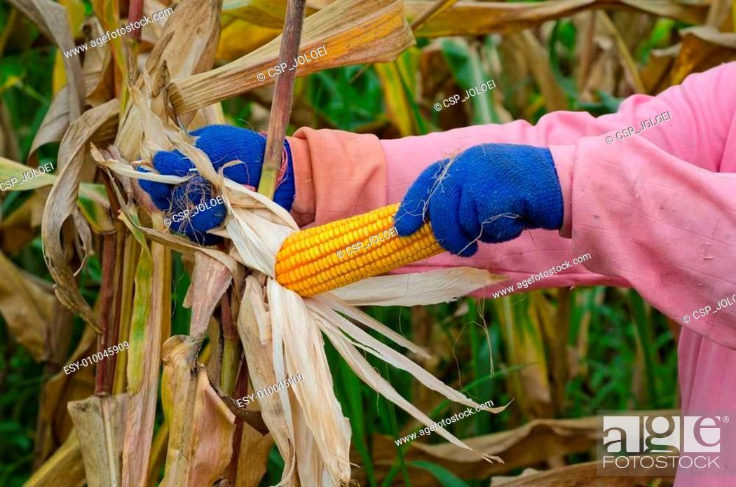 Stock Photo: Ripe corn harvest.