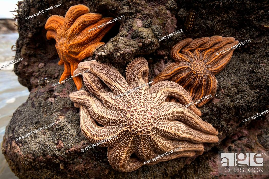 Eleven-armed Sea Star (Coscinasterias calamaria) group at