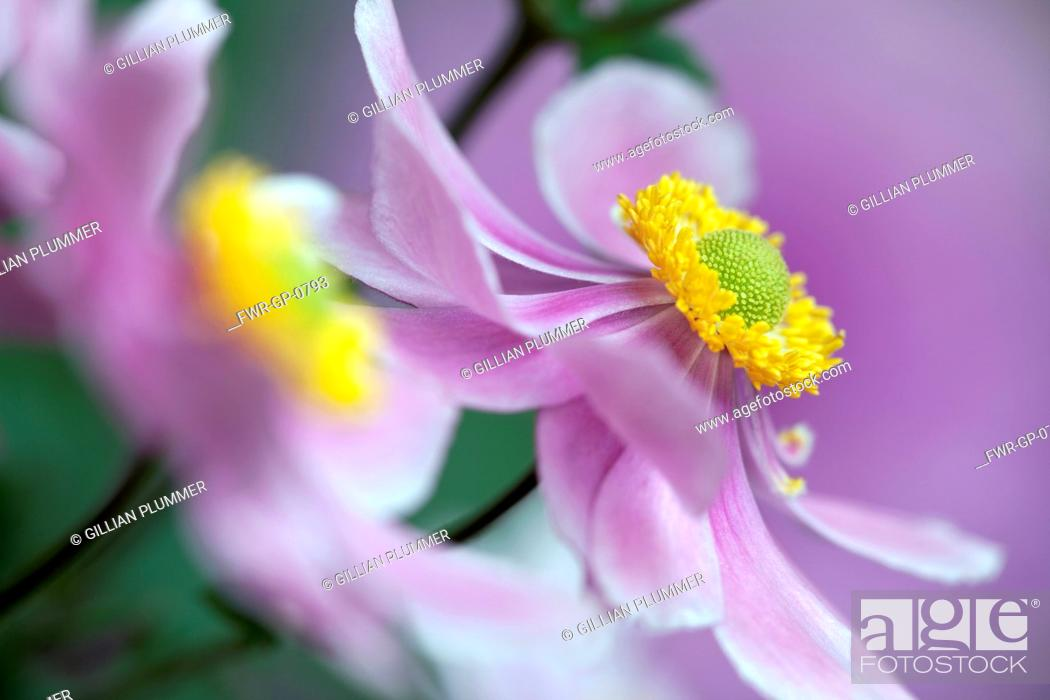 Imagen: Japanese anemone, Anemone x hybrida 'Serenade', Close cropped, side view of one pink flower fully open to show yellow stamen inside.