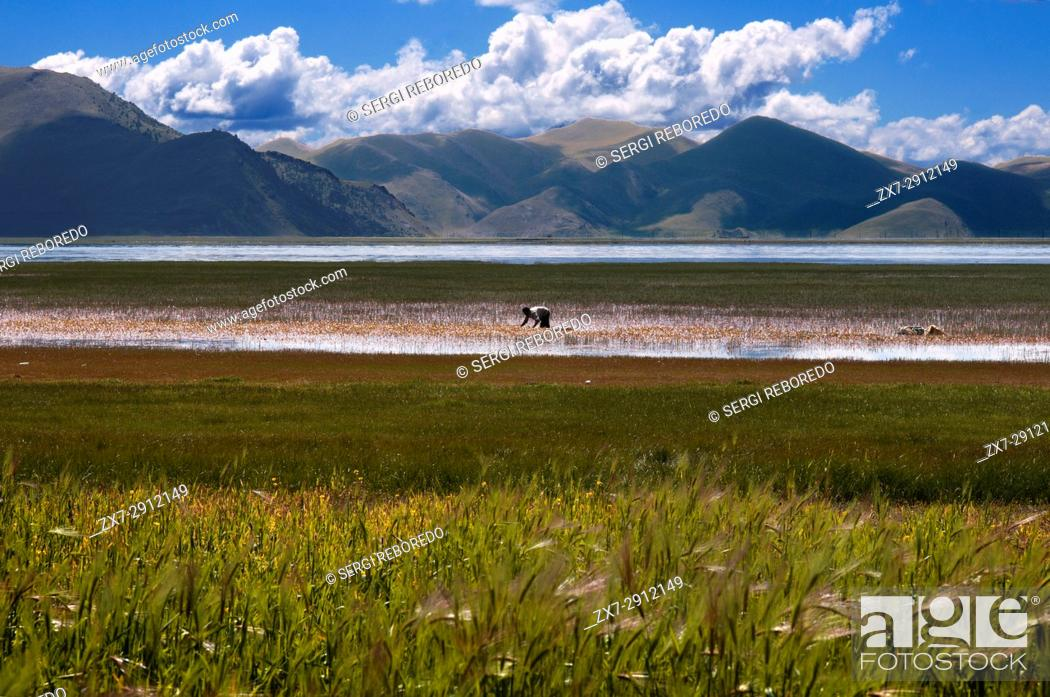 Photo de stock: Wheat fields at Lake Yamdrok, Tibet. Around 90 km to the west of the lake lies the Tibetan town of Gyantse and Lhasa is a hundred km to the northeast.