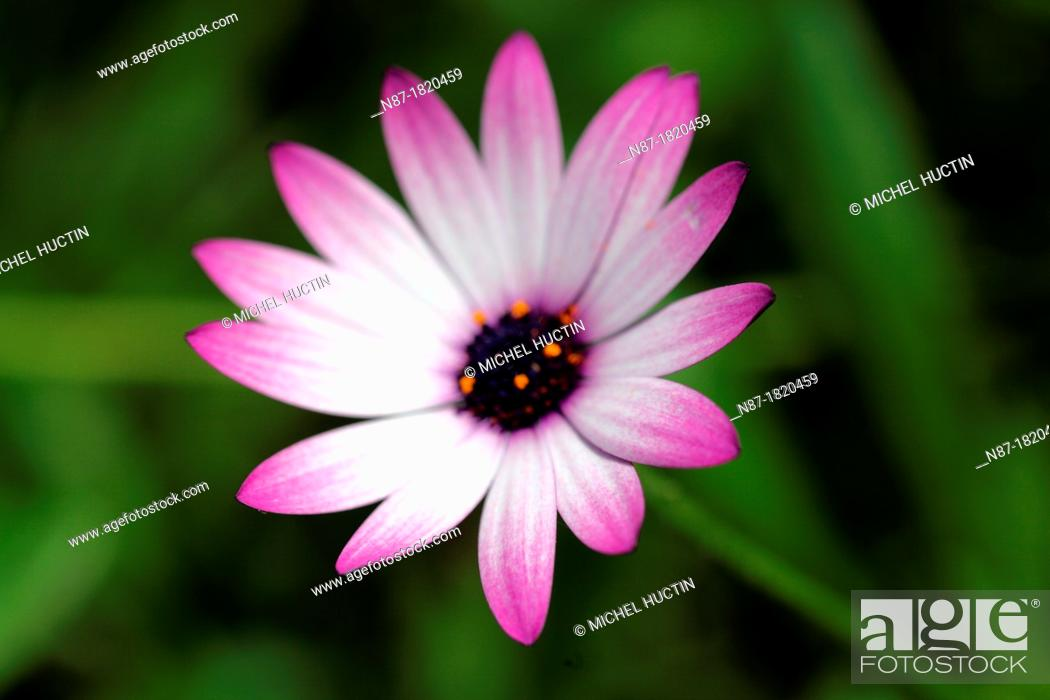 Stock Photo: Kaffir lily or Schizostylis coccinea.