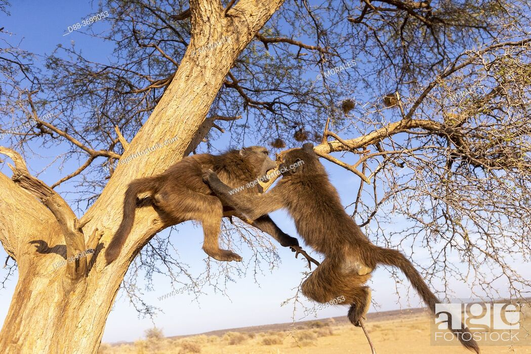 Photo de stock: Africa, Namibia, Private reserve, Chacma or chacma baboon (Papio ursinus), youngs playing in a tree.