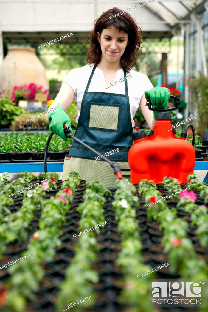Stock Photo: Irrigation and fertilizer with sprayer in greenhouse. Flowers: garden balsam and geraniums. Garden Center.