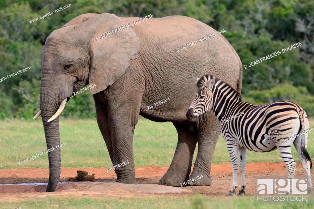 Stock Photo: African bush elephant bull (Loxodonta africana) drinking with Burchell's zebra (Equus quagga burchellii) at waterhole, Addo Elephant National Park, Eastern Cape.