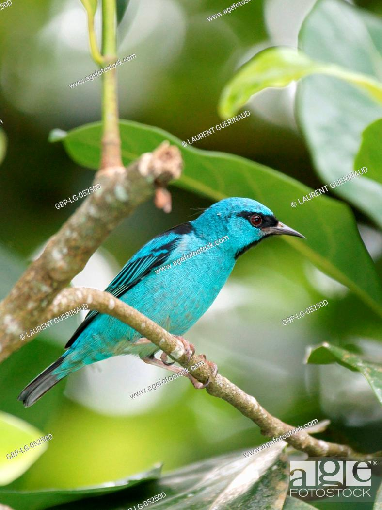 Stock Photo: Bird, Male Leave-blue, North Coast, Camburi, São Paulo, Brazil.