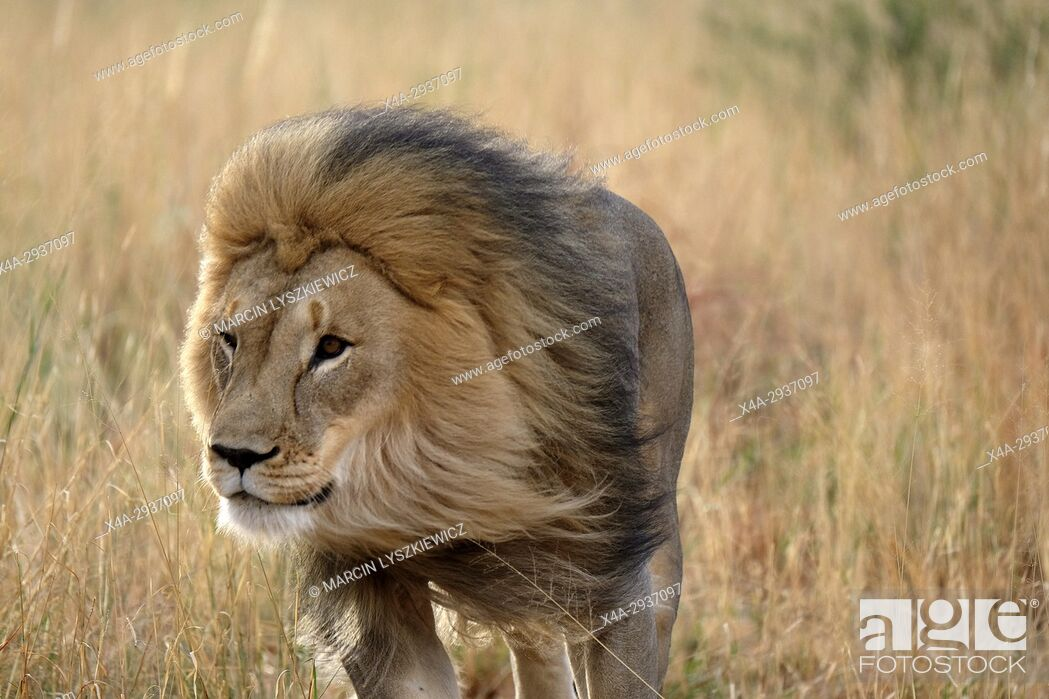 Stock Photo: Prime-male African lion (Panthera leo) running in the grass, Africat Centre, Namibia.