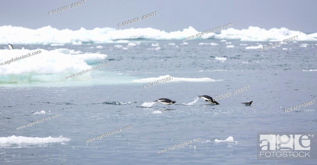 Imagen: Adelie Penguins porpoise amongst icebergs and bergy bits near Brown Bluff, Antarctic Peninsula.